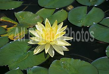 Hawaii, Pale yellow water lily, single flower in pond
